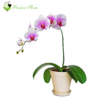Vase of  Orchid